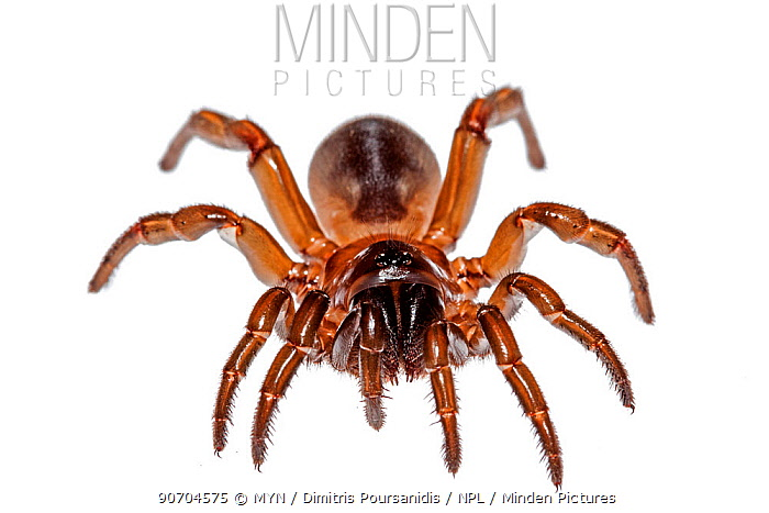 Trapdoor spider (Cyrtocarenum cunicularium) Crete, Greece, October. meetyourneighbours.net project