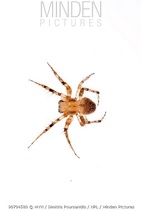 Orb weaver spider (Araenidae) Crete, Greece. meetyourneighbours.net project