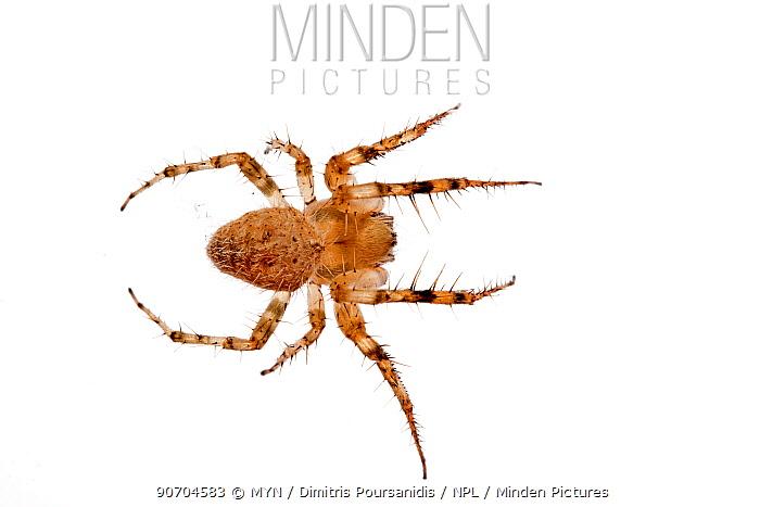 Orb web spider (Araenidae) Crete, Greece. meetyourneighbours.net project