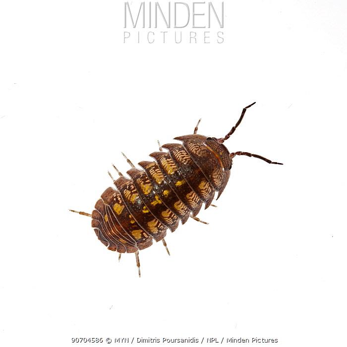 Woodlouse (Isopoda) Crete, Greece. meetyourneighbours.net project