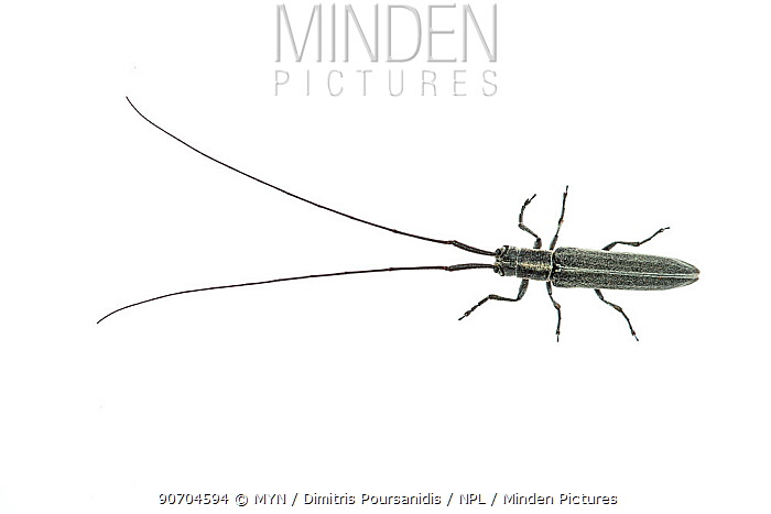 Long horned beetle (Calamobius filum) Crete, Greece, April. meetyourneighbours.net project