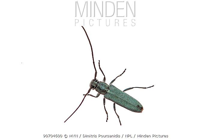 Longhorned beetle (Cerambycidae) Crete, Greece, May. meetyourneighbours.net project