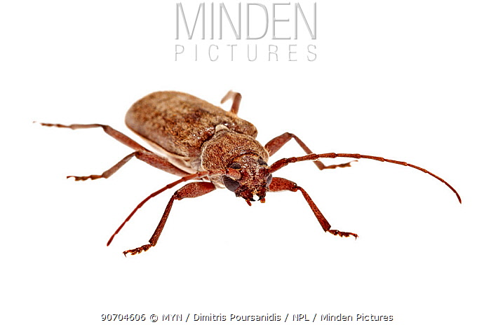Longhorned beetle (Xylotrechus stebbingi) Greece, August.  meetyourneighbours.net project