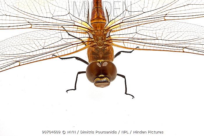Vagrant emperor dragonfly (Anax ephippiger) crop, Greece, August. meetyourneighbours.net project