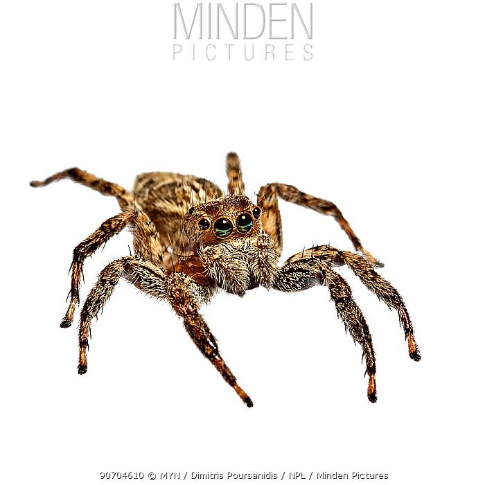 Jumping spider (Salticidae) Greece, August. meetyourneighbours.net project