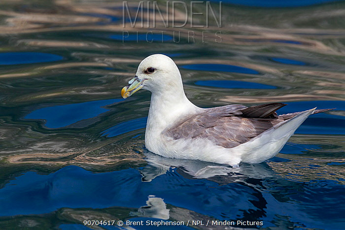 Northern fulmar (Fulmarus glacialis) swimming on sea with ripples, St Kilda, Outer Hebrides, Scotland. June.