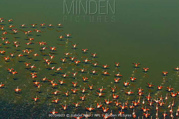 Chilean flamingo (Phoenicopterus chilensis) flock taking off from above, La Pampa, Argentina. Honourable mention in the Birds category of the Primios Yaguaret� Prizes Awards 2015.