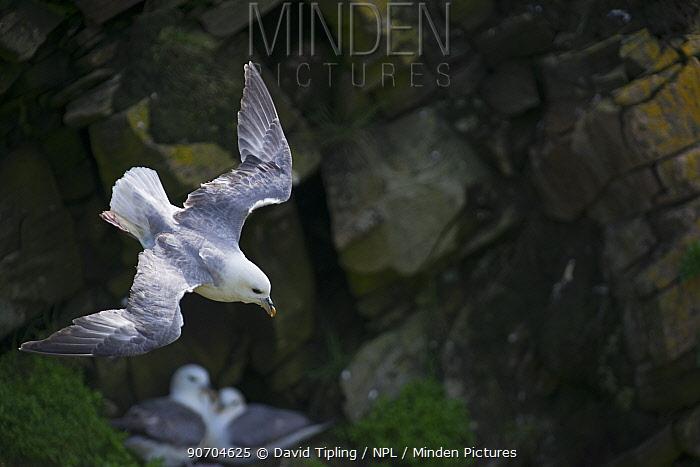 Northern fulmar (Fulmarus glacialis) flying past pair nesting on cliff, Shetland, UK, June.