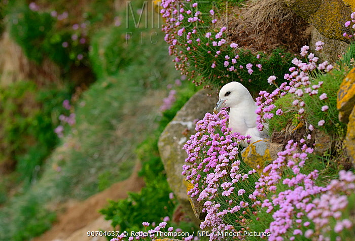 Fulmar (Fulmarus glacialis) nesting amongst flowering thrift (Armeria maritima), Great Saltee Islands, County Wexford, Republic of Ireland. May.