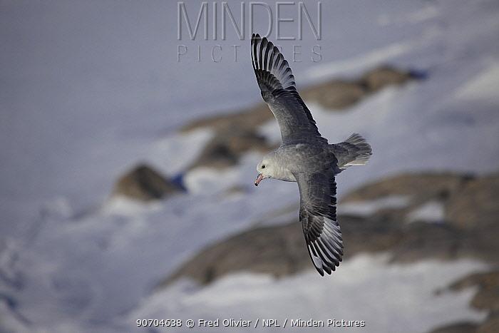 Southern fulmar (Fulmarus glacialoides) in flight, Antarctica.