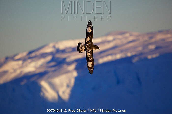 Cape Petrel (Daption capense) in flight, Antarcitca.