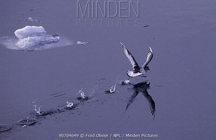 Antarctic Petrel (Thalassoica antarctica) taking off, running along sea surface, Antarctica