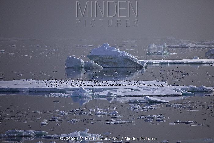 Antarctic Petrel flock (Thalassoica antarctica) landing on iceberg, Antarctica