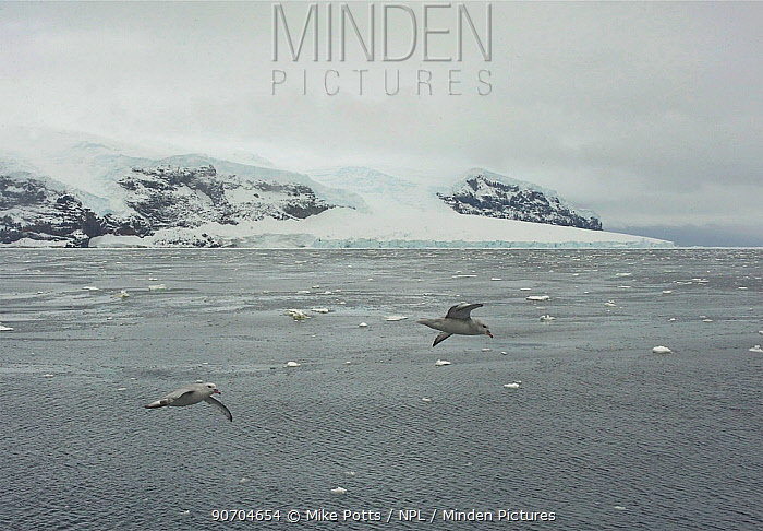 Southern fulmar (Fulmarus glacialoides) flying, Sturge Island, Balleny Islands, Antarctica, February.