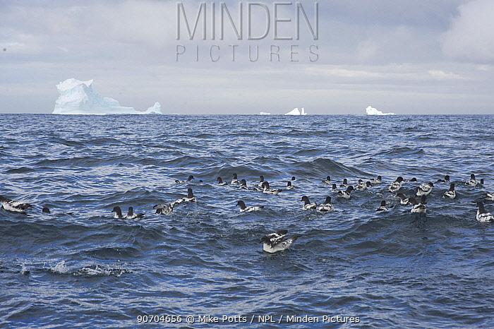 Cape petrel (Daption capense) group off Buckle Island, Balleny Islands, Antarctica, February.