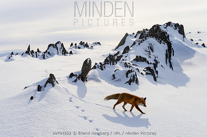 Red fox (Vulpes vulpes) in snow, Varanger Peninsula, Norway. Winner of the Mammals Category of the Asferico Competition 2015.