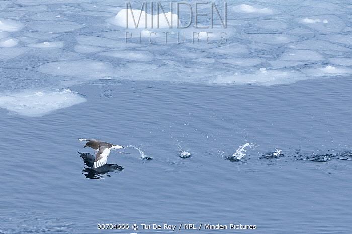 Antarctic petrel (Thalassoica antarctica) taking off, Southern Ocean, Antarctica, November.