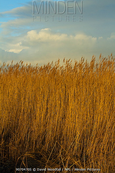 Common reed (Phragmities communis), Steart Marshes Wildfowl and Wetland Trust, Somerset, UK, February 2015.   This area has been allowed to flood by the WWT and the Environment Agency to create new salt marsh habitat and is an example of managed retreat.