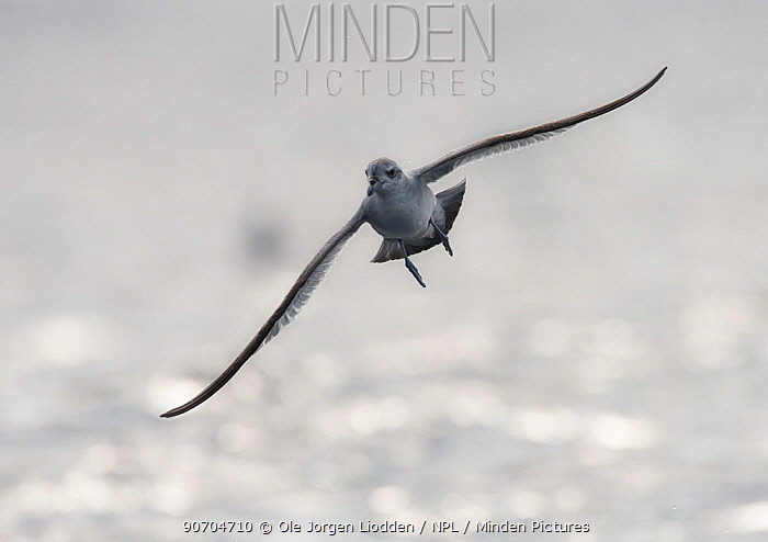Fulmar prion (Pachyptila crassirostris crassirostris) in flight near Bounty Island, Sub-Antarctic New Zealand, March.