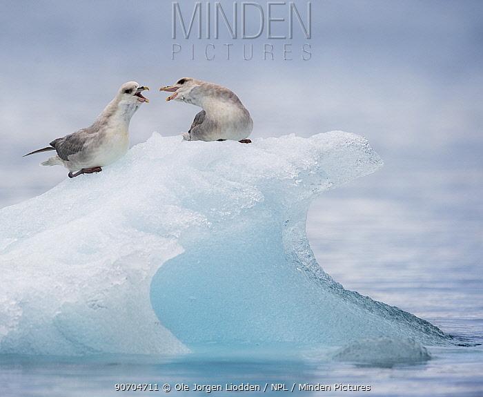 Northern fulmars (Fulmarus glacialis) squabbling on iceberg, Hornsund, Svalbard, Norway, June.