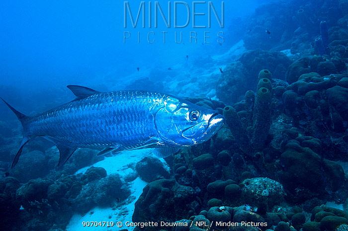 Atlantic tarpon (Megalops atlanticus)  Bonaire, Netherlands Antilles, Caribbean, Atlantic Ocean.