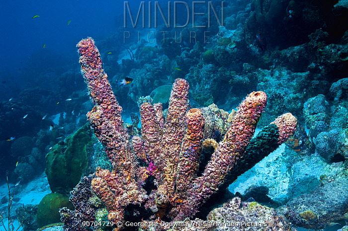 Convoluted barrel sponge (Aplysina lacunosa) Bonaire, Netherlands Antilles, Caribbean, Atlantic Ocean.