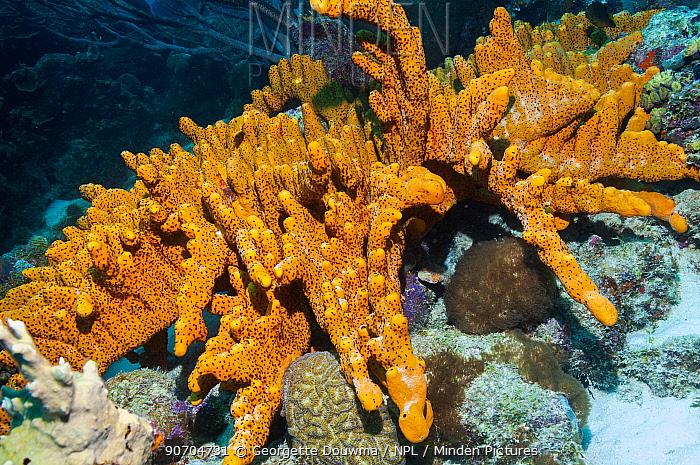 Brown tube sponge (Agelas conifera)  Bonaire, Netherlands Antilles, Caribbean, Atlantic Ocean.