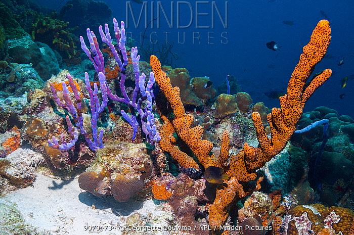 Brown tube sponge (Agelas conifera) and Row pore rope sponge (Aplysina cauliformis)  Bonaire, Netherlands Antilles, Caribbean, Atlantic Ocean.