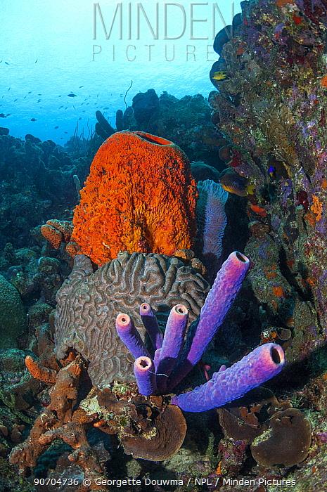 Coral reef scenery with Orange elephant ear sponges (Agelas clathrodes), Stove-pipe sponge (Aplysina archeri) and Boulder brain coral (Colpophyllia natans)  Bonaire, Netherlands Antilles, Caribbean, Atlantic Ocean.
