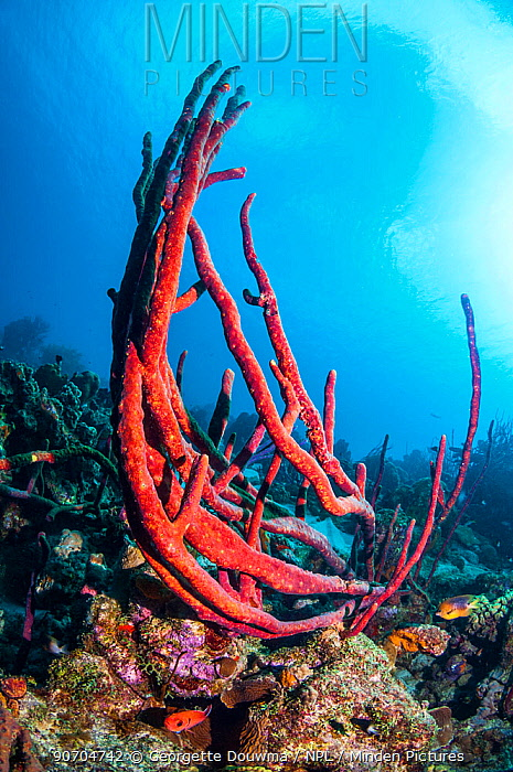 Erect rope sponge (Amphimedon compressa)  Bonaire, Netherlands Antilles, Caribbean, Atlantic Ocean.