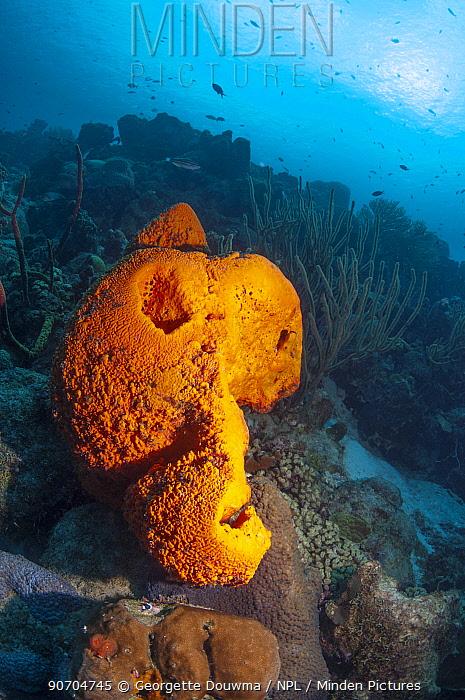 Orange elephant ear sponge (Agelas clathrodes)  Bonaire, Netherlands Antilles, Caribbean, Atlantic Ocean.