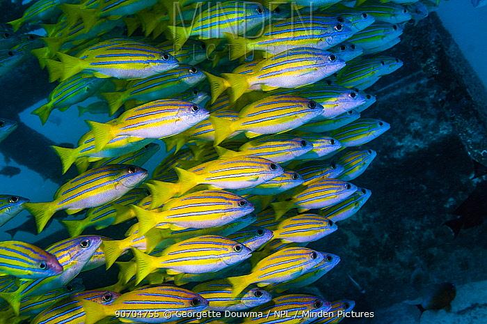 Kasmira snappers (Lutjanus kasmira) shoal on artificial reef.  Mabul, Malaysia.