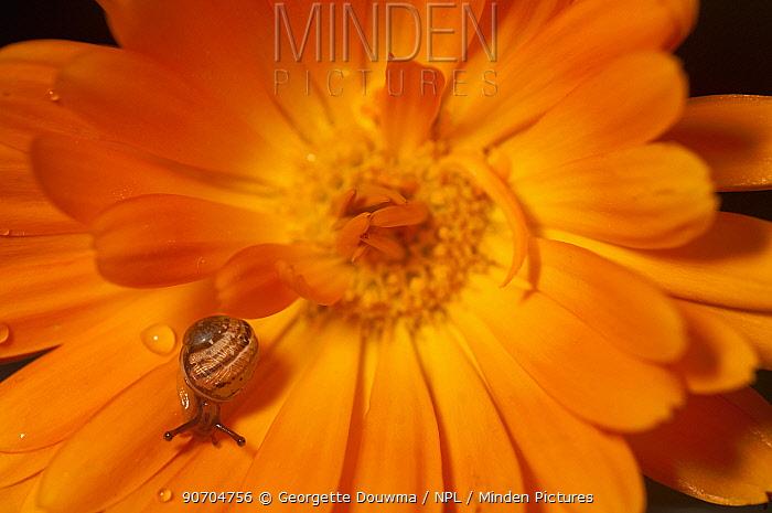 Garden snail (Helix aspersa) baby on Marigold flower,  UK.