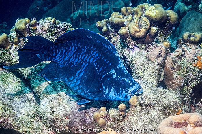 Midnight parrotfish (Scarus coelestinus)  Bonaire, Netherlands Antilles, Caribbean, Atlantic Ocean.