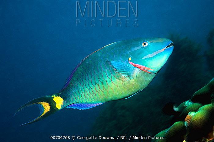 Stoplight parrotfish (Sparisoma viride), terminal phase, super male. Bonaire, Netherlands Antilles, Caribbean, Atlantic Ocean.