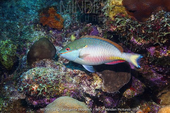 Redband parrotfish (Sparisoma aurofrenatum)  Bonaire, Netherlands Antilles, Caribbean, Atlantic Ocean.