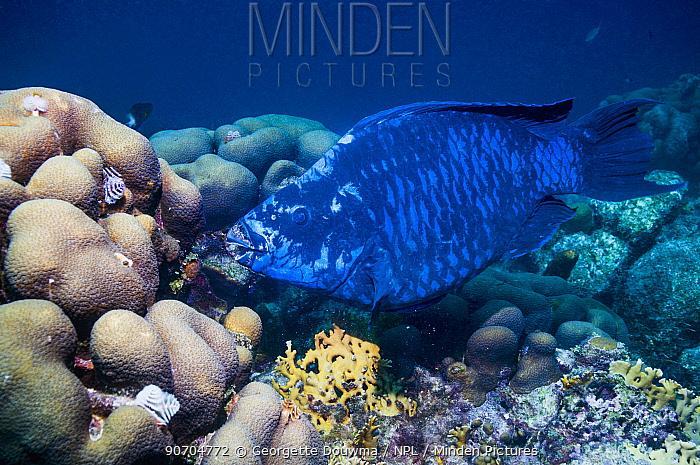 Midnight parrotfish (Scarus coelestinus) feeding on corals,  Bonaire, Netherlands Antilles, Caribbean, Atlantic Ocean.
