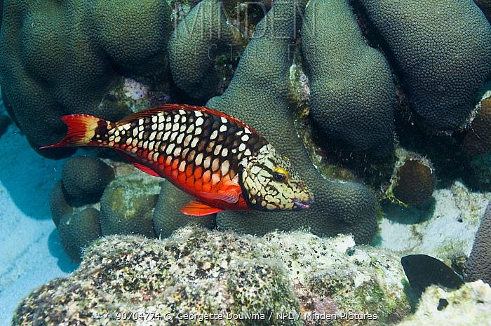 Stoplight parrotfish (Sparisoma viride) initial phase.  Bonaire, Netherlands Antilles, Caribbean, Atlantic Ocean.