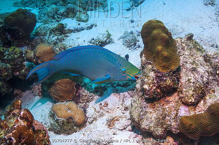 Queen parrotfish (Scarus vetula), terminal phase, grazing on coral.  Bonaire, Netherlands Antilles, Caribbean, Atlantic Ocean.