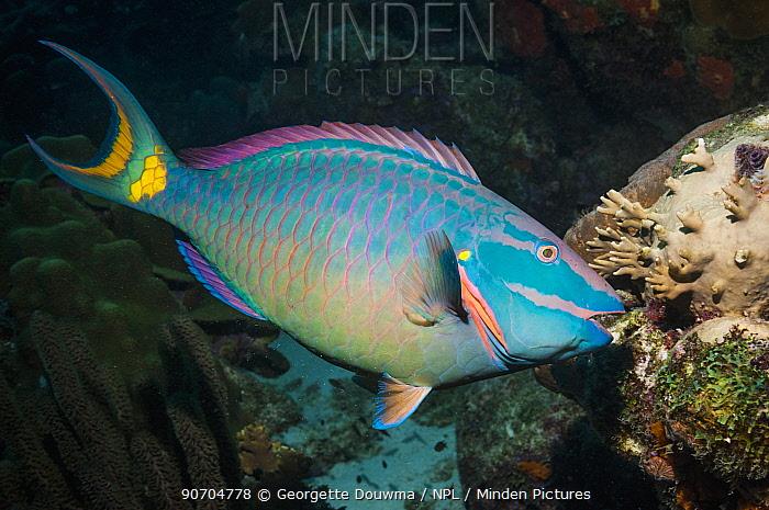 Stoplight parrotfish (Sparisoma viride), super male (will always remain male), terminal phase.  Bonaire, Netherlands Antilles, Caribbean, Atlantic Ocean.