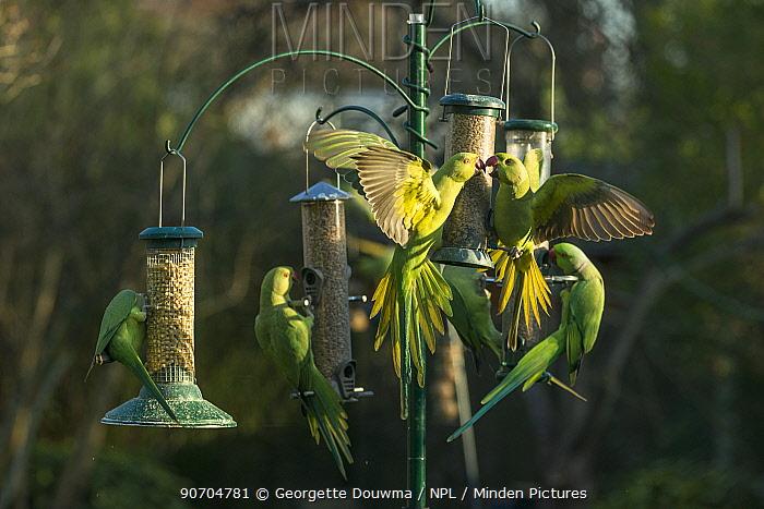 Rose-ringed or ring-necked parakeets (Psittacula krameri) on bird feeders in urban garden.  London, UK, February.