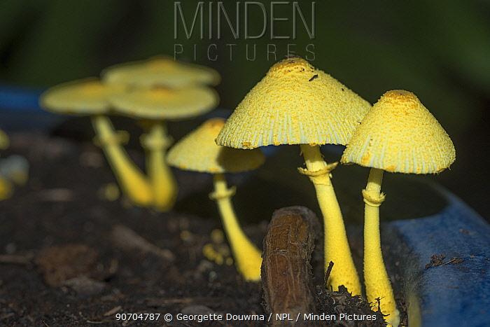 Yellow parasol (Leucocoprinus birnbaumii  / Lepiota lutea)  UK, September.