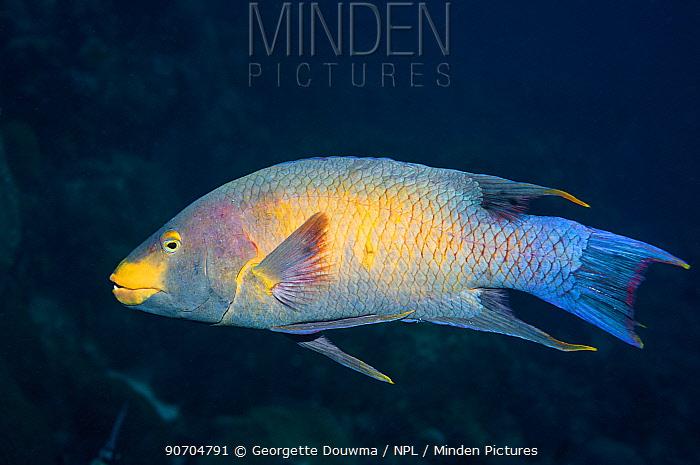 Spanish hogfish (Bodianus rufus)  Bonaire, Netherlands Antilles, Caribbean, Atlantic Ocean.