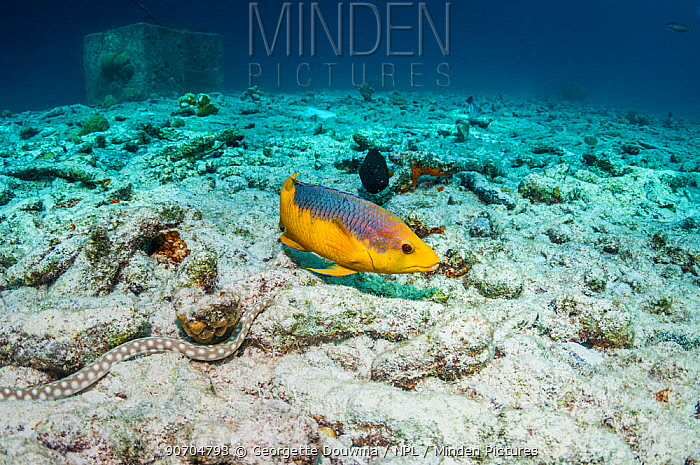 Spanish hogfish (Bodianus rufus) closely watching and following a hunting Sharptail eel (Myrichthys breviceps)  Bonaire, Netherlands Antilles, Caribbean, Atlantic Ocean.