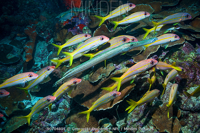 Yellow goatfish (Mulloidichthys martinicus) hunting over coral reef, with a  Trumpetfish (Aulostomus maculatus) joining in.  Bonaire, Netherlands Antilles, Caribbean, Atlantic Ocean.