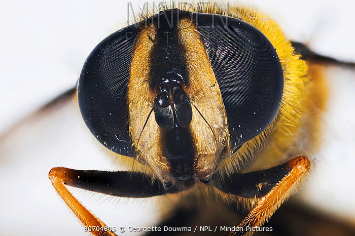 Drone Fly (Eristalis tenax), close up of compound eyes.  UK.
