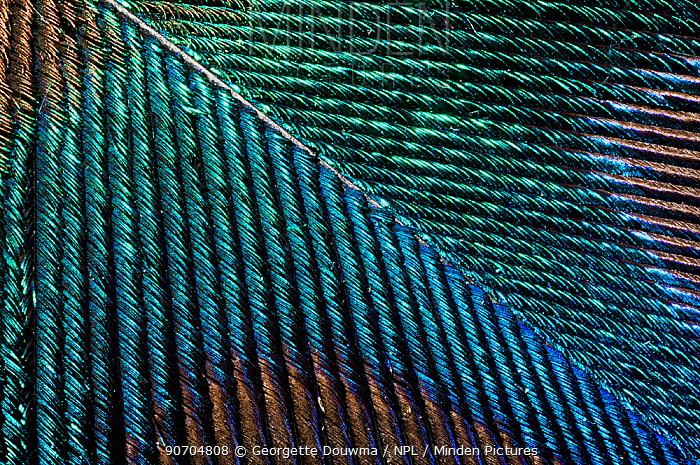 Close up of a Peacock  (Pavo cristatus) feather barbs.