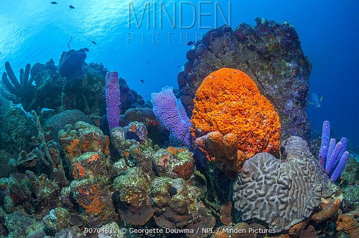 Coral reef scenery with Orange elephant ear sponge (Agelas clathrodes), Stove-pipe sponge (Aplysina archeri) and Azure vase sponge (Callyspongia plicifera)  Bonaire, Netherlands Antilles, Caribbean, Atlantic Ocean.