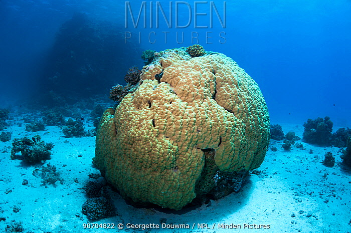 Porites coral, stony coral boulders.  Egypt, Red Sea.