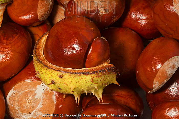 Horse chestnuts (Aesculus hippocastanum) conkers, UK.